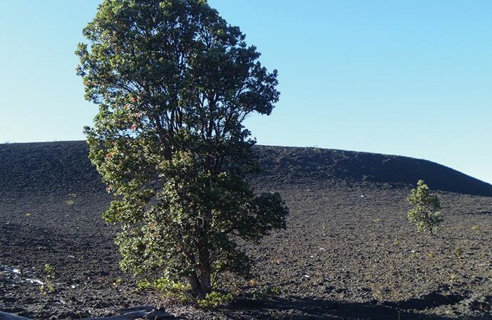 固まった溶岩の上にのびるオヒアの木