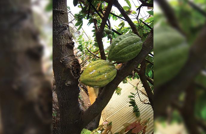 カカオの木もありました。ワイアルアカカオです。カカオってかわいい!