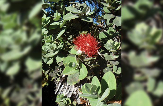 レフアの花。綺麗な赤いお花です。